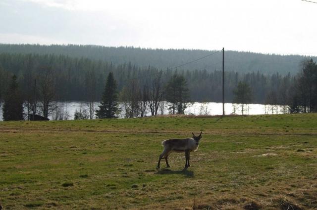 Reindeer – Totovaara